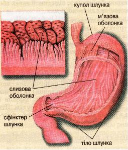 Будова шлунка