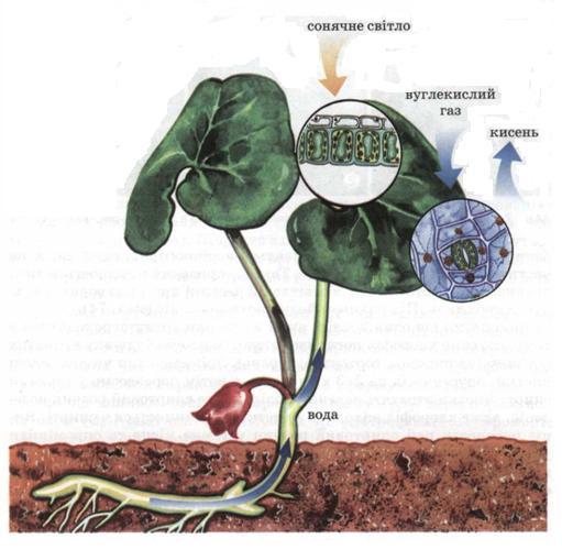 Повітряне живлення рослин. фото