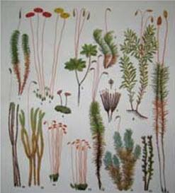 Зелені мохи