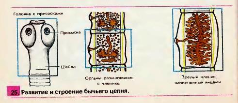 Рисунки строения бычьего цепня