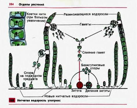 Многоклеточные нитчатые