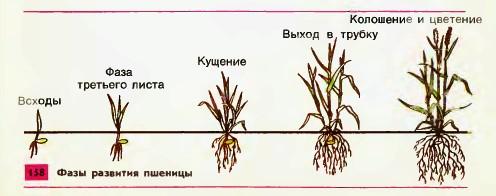 Кроме пшеницы важными зерновыми