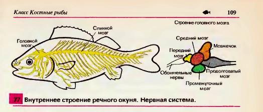 Органы чувств позволяют рыбам хорошо
