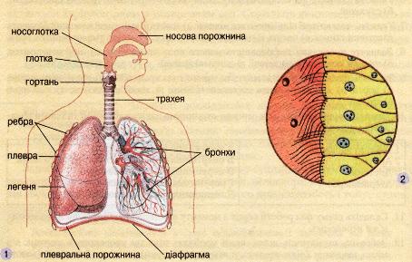Будова дихальної системи (1).