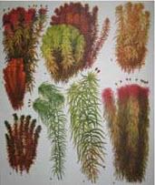 Сфангові мохи
