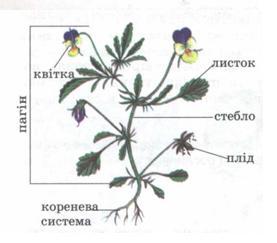 Тема 13 будова квіткової рослини