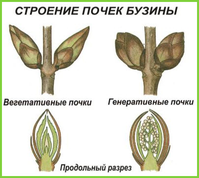 Большинство растений отличается верхушечным ростом.  Внутреннее строение стебля: на поверхности среза различается...