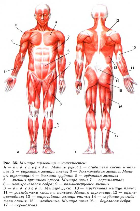 Строение мышц — Гипермаркет