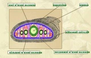 Будова планаріі