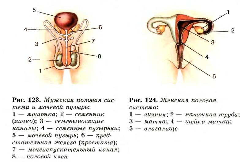 Человек с мужским и женским органом