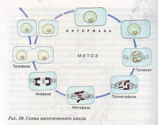 Схема митотического цикла