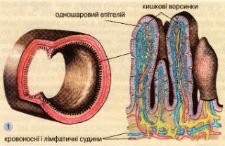 Будова ворсинок кишечнику