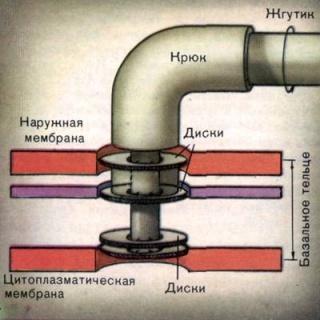 Схема будови бактеріального джгутика.