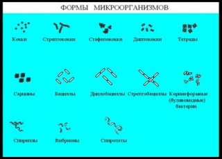 Різномаїття видів бактерій