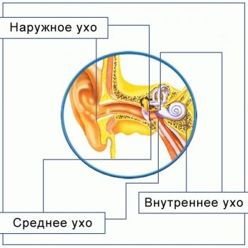 Орган слуха человека