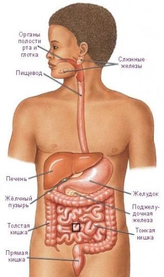 Система органов пищеварения.