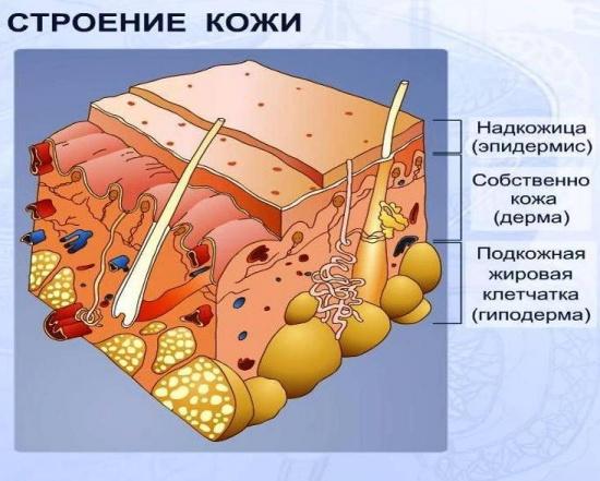 Рис. 1. схема строения кожи.