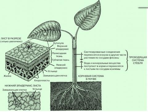 Будова квіткової рослини вегетативні