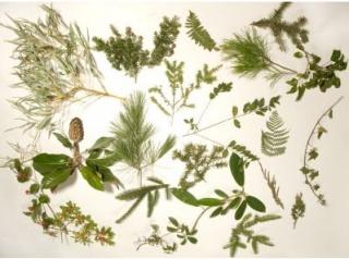 Гербарій. Незамінимий помічник для порівняння будови частин різних рослин