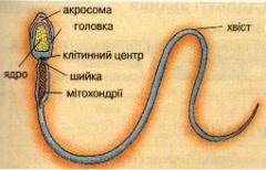 Будова сперматозоїда