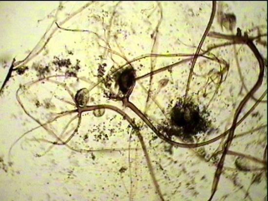 почвенный гриб мукор