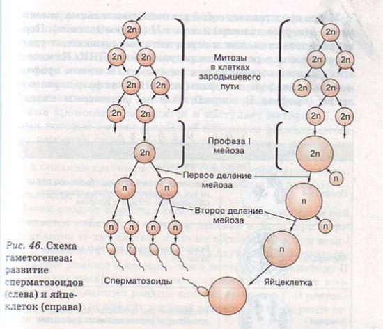 млекопитающего Гаметогенез
