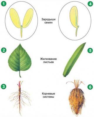 Та однодольні рослини у чому ж різниця
