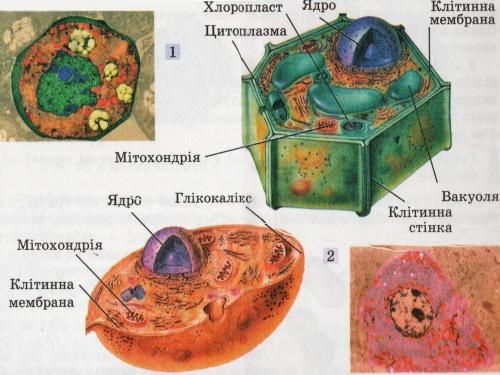 Мал 1 рослинна 1 і тваринна 2 клітини