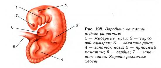 Развитие зародыша постэмбриональное