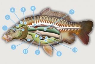 Системи травлення у тварин на прикладі риб