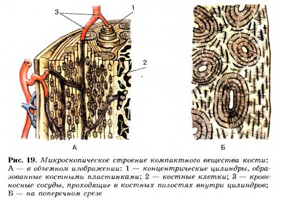 Строение вещества кости