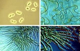Ціанобактерії