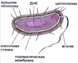 Будова клітини прокаріота